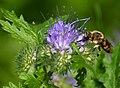 Biene auf Phaceliablüte.jpg