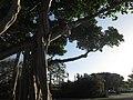 Big Tree in the City - panoramio.jpg