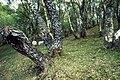 Birches, sheep. - geograph.org.uk - 1187927.jpg