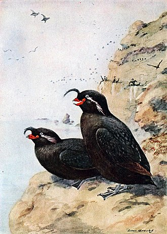 Crested auklet - Illustration from 1913