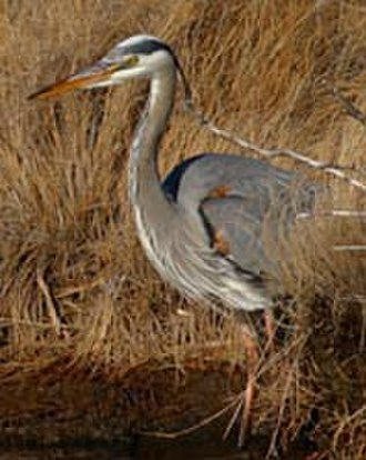 Edwin B. Forsythe National Wildlife Refuge - Great blue heron