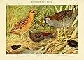 Birds of New York (Plate 26) (6815744006).jpg