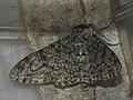 Biston betularia - Peppered moth - Пяденица берёзовая (26048877957).jpg