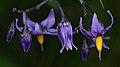 Bittersweet (Solanum dulcamara) - Guelph, Ontario 01.jpg