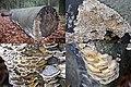 Bjerkandera adusta (Smoky Bracket, D= Angebrannter Rauchporling, F= Polypore brûlé, NL= Grijze buisjeszwam) white spores and causes white rot, at Planken Wambuis on a Beech trunk - panoramio.jpg