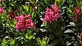 Blüten von Rhododendron hirsutum.jpg