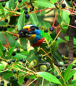 Black-browed Barbet.jpg