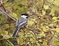 Black-capped Chickadee-Poecile atricapillus.jpg