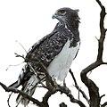 Black-chested snake eagle (36149007640).jpg