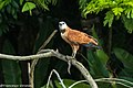 Black-collared Hawk - Darién - Panama (48444146951).jpg