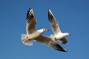 Black-headed Gulls, London.jpg