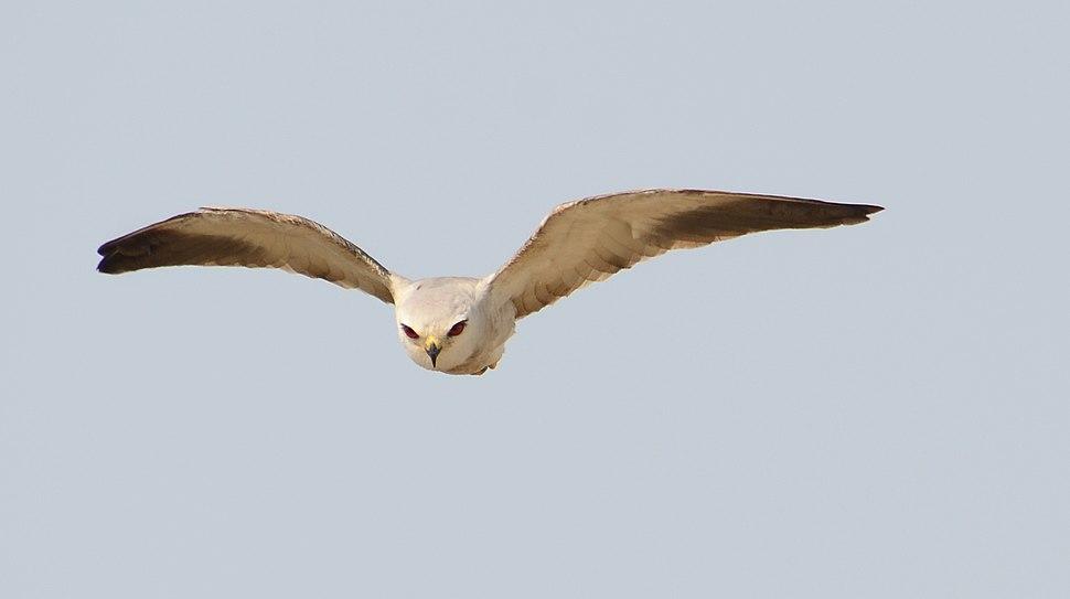 Black-shouldered Kite in Ghana