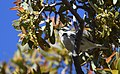Black-throated Gray Warbler (33884467391).jpg