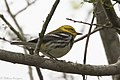 Black-throated Green Warbler ( ?? first winter male ) Mission TX 2018-03-01 08-19-47 (40623496381).jpg