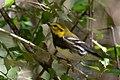 Black-throated Green Warbler (male) Smith Oaks High Island TX 2018-04-11 14-36-23 (26941308547).jpg