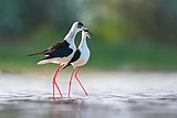 Black-winged stilt courtship behaviour.jpg