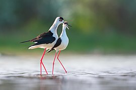 Black-winged stilt courtship behaviour.jpg