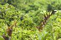 Black Bittern - Sulawesi MG 3898 (15467562525).jpg