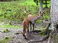 Black Forest- red deer (10561957446).jpg