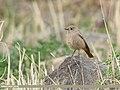 Black Redstart (Phoenicurus ochruros) (50350543891).jpg