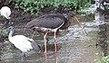 Black Stork (Ciconia nigra) (31608520887).jpg