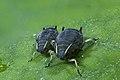 Black bean aphid (9269110995).jpg