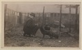 Black foxes owned by Spring Park Black Fox Company, Limited Photo E (HS85-10-26278) original.tif
