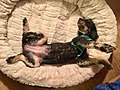 Black small poodle resting (lying on back) in cream coloured soft pet bed for dogs . Norway 2018-12-24 C.jpg