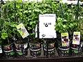 Blackberries- another potentially invasive species being sold in stores.jpg