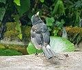Blackbird watching out for Sparrowhawks (41761690210).jpg