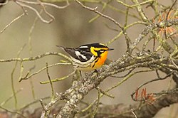 Blackburnian Warbler, Tawas Point State Park, 17 May 2015 (17798747212).jpg