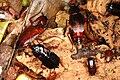 Blatta orientalis 0002 L.D.jpg
