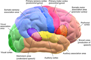 A diagram of the functional areas of the human brain