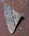 Bleptina caradrinalis P1390893a.jpg