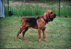 Bloodhound duke 1.jpg