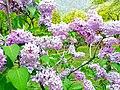 Blossom in Hunza.jpg