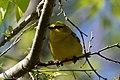 Blue-winged Warbler (male) Sabine Woods TX 2018-04-22 14-35-44-2 (27122891897).jpg