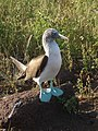 Blue footed Booby, showing off those feet! (5840863898).jpg