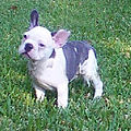 Blue pied frenchie.jpg