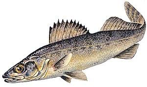 Blue walleye - Image: Blue walleye