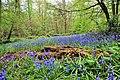 Bluebells at Ashenbank Wood - panoramio.jpg