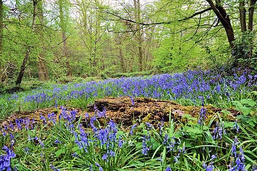 Bluebells at Ashenbank Wood - panoramio