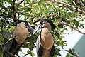Boat billed heron - panoramio - NaturesFan1226.jpg
