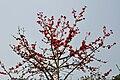 Bombax - Kolkata 2011-02-25 1728.JPG