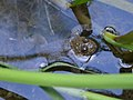Bombina variegata near Botevgrad 01.jpg