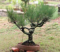 Bonsai lalbagh.jpg
