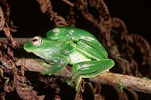 Boophis luteus septentrionalis03.jpg