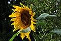 Botanischer Garten der Universität Zürich - Helianthus annuus 2010-08-24 17-38-06.JPG