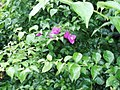 Bougainvillea glabra 'Magnifica' Choisy (AM AK290483-3).jpg