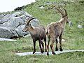 Bouquetins près du col de la Vanoise, 2014 (39).jpg